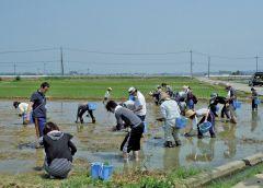 市民協働で手作りの七豊米、田植え風景