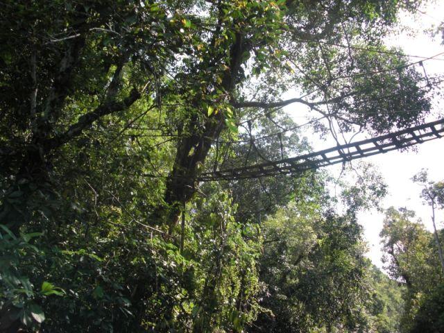 ジャングルの中に架橋されたオランウータンのための吊り橋