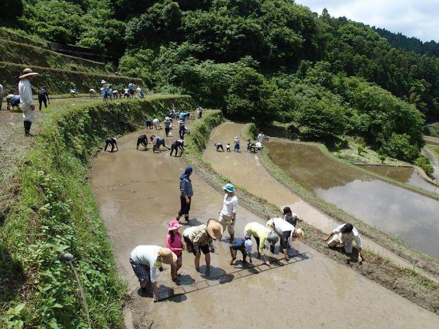 稲作コース「田植え」:棚田に家族が集い、昔ながらのお手植え田植え作業